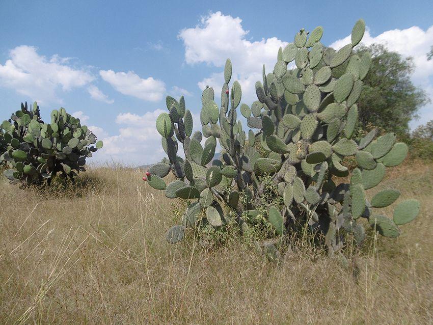 Cactus mexicain comestible des figuiers de barbarie.