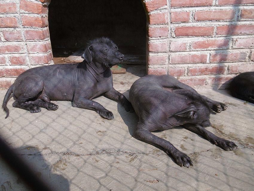 Xoloitzcuintle, chien du Mexique.