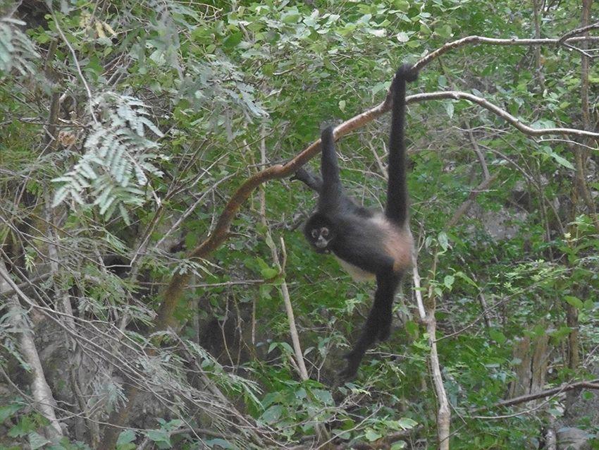 Singe mexicain aperçu dans le canyon del Sumidero.