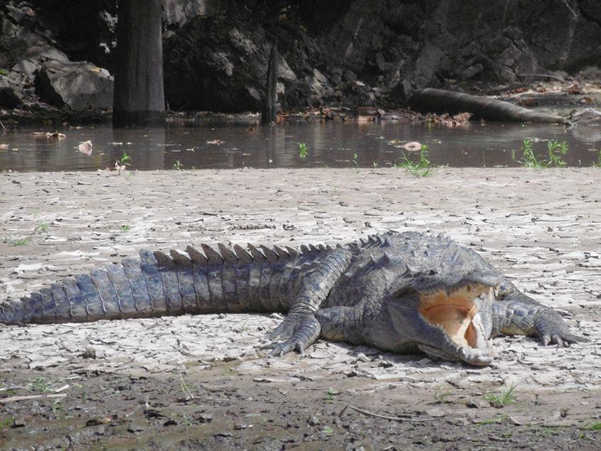 Crocodile du canyon del Sumidero, au Mexique.