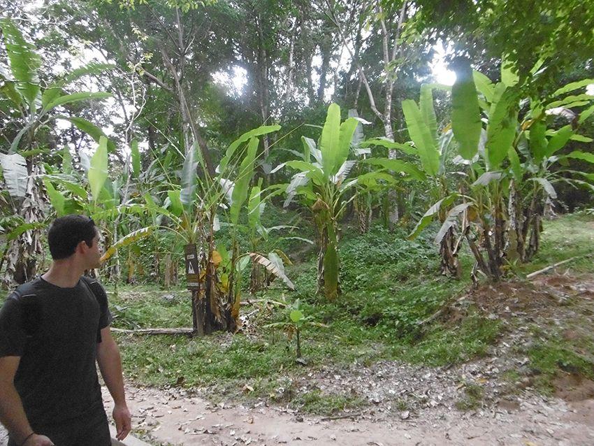 Bananiers du Mexique.