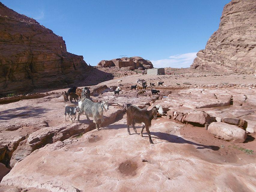 Chèvres sur la route pour le monastère de Petra en Jordanie.