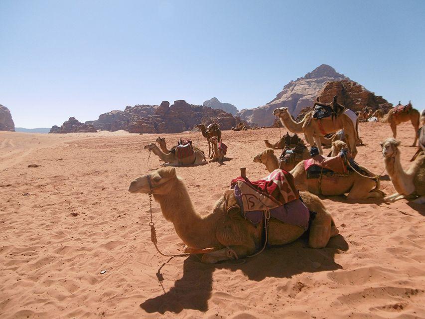 Dromadaires du désert du Wadi Rum en Jordanie.