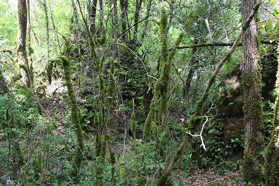 Forêt de Saint-Cézaire sur Siagne.