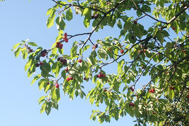 cerises sur une branche de cerisier