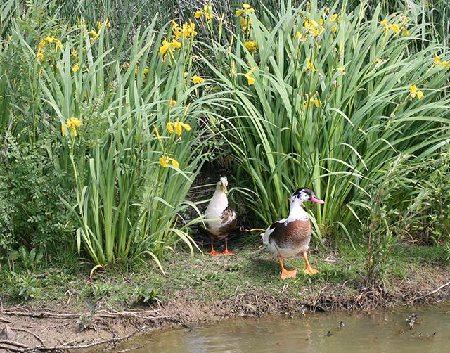 Canards de l'étang de Fontmerle, à la Valmasque Mougins.