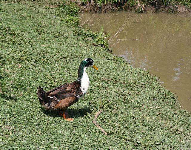 Canard de l'étang de Fontmerle, à la Valmasque Mougins.