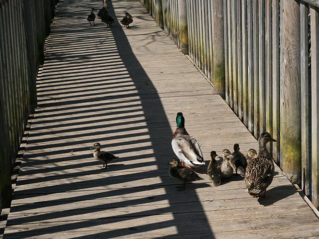 Famille de canards colverts à l'étang de Fontmerle, à la Valmasque Mougins.