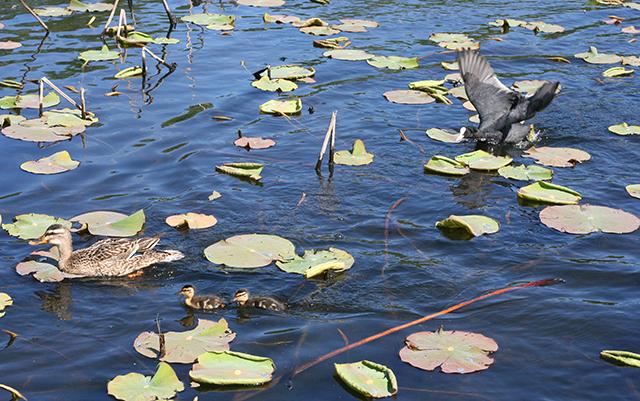 Attaque de foulque de l'étang de Fontmerle , à la Valmasque Mougins.