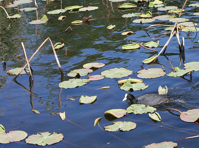 Foulque de l'étang de Fontmerle , à la Valmasque Mougins.