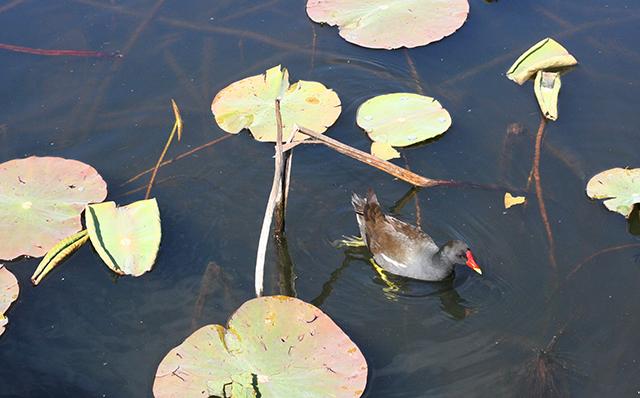 Poule d'eau de l'étang de Fontmerle , à la Valmasque Mougins.